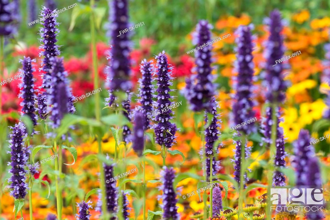 Imagen: Hyssop, Anise hyssop, Agastache foeniculum, Purple coloured flowers growing outdoor with various colourful plants.