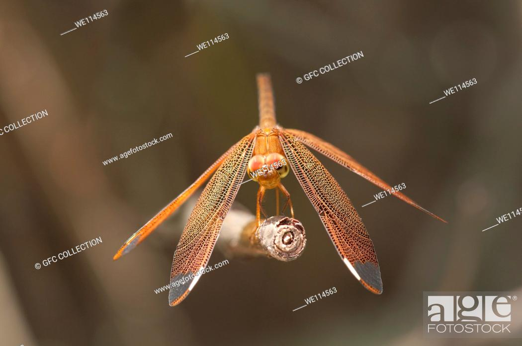 Stock Photo: Dragonfly Fulvous Forest Skimmer, Neurothemis fulvia, female, Siem Reap, Cambodia.