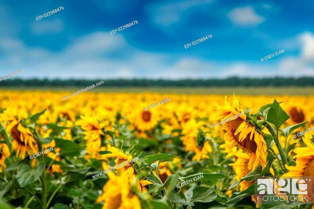 Stock Photo: Sunflower plantation.