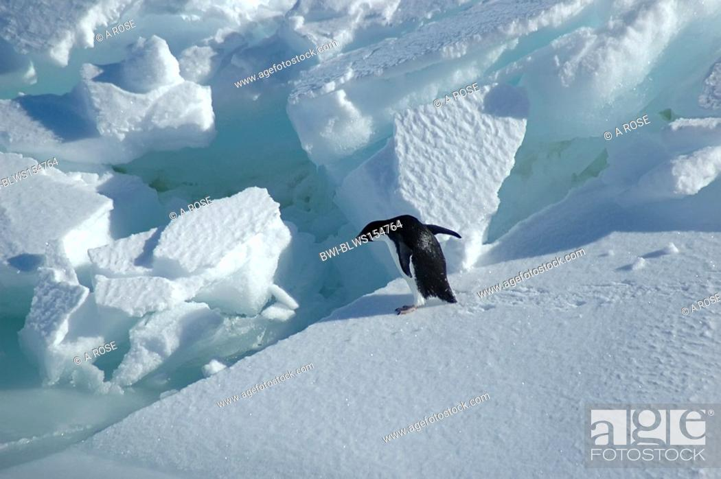 Stock Photo: adelie penguin Pygoscelis adeliae, Adelie penguin wants to jump to the next ice floe, Antarctica.