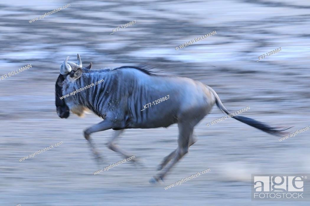 Stock Photo: Brindled Gnu/Wildebeest (Connochaetes taurinus), running, Tanzania.