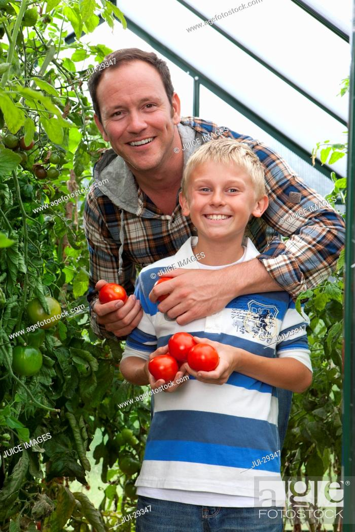 Stock Photo: Smiling father and son picking ripe tomatoes in greenhouse garden.