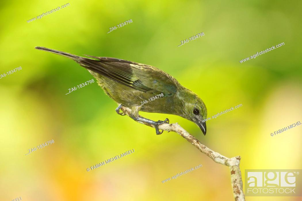 Stock Photo: Palm Tanager Thraupis palmarum melanoptera, perched in the rain forest of northern Venezuela.