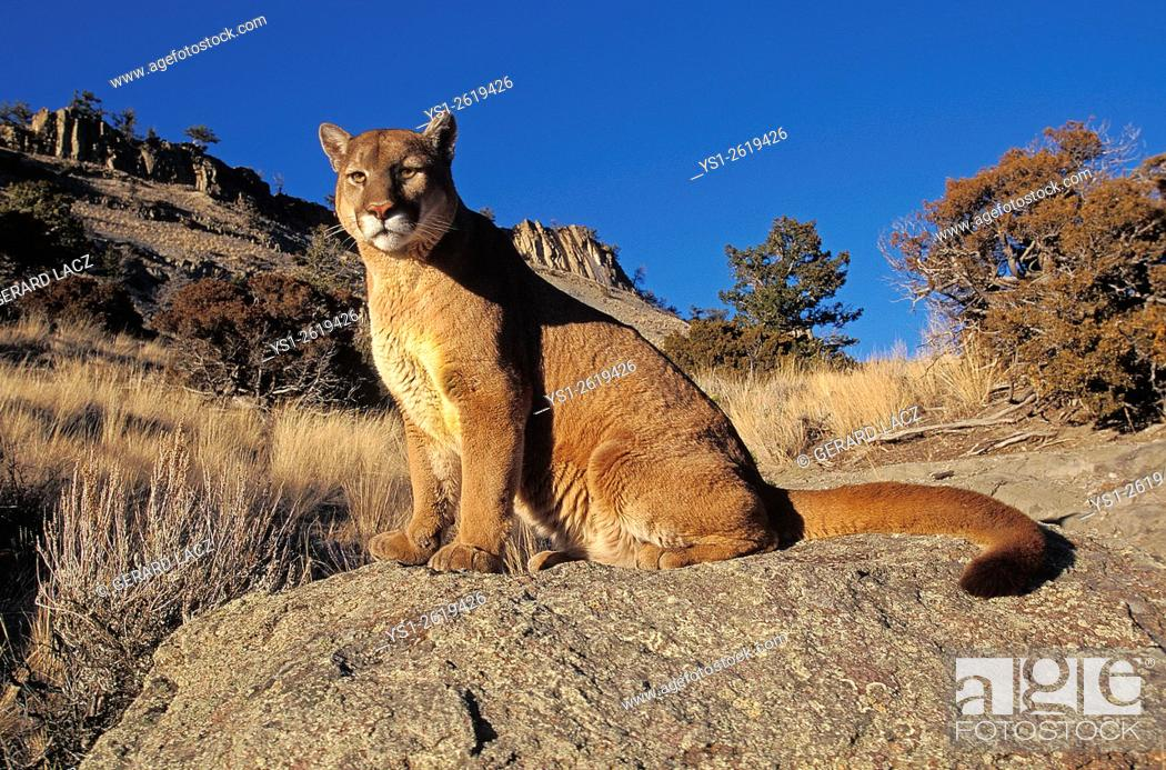 Stock Photo: Cougar, puma concolor, Adult standing on Rocks, Montana.