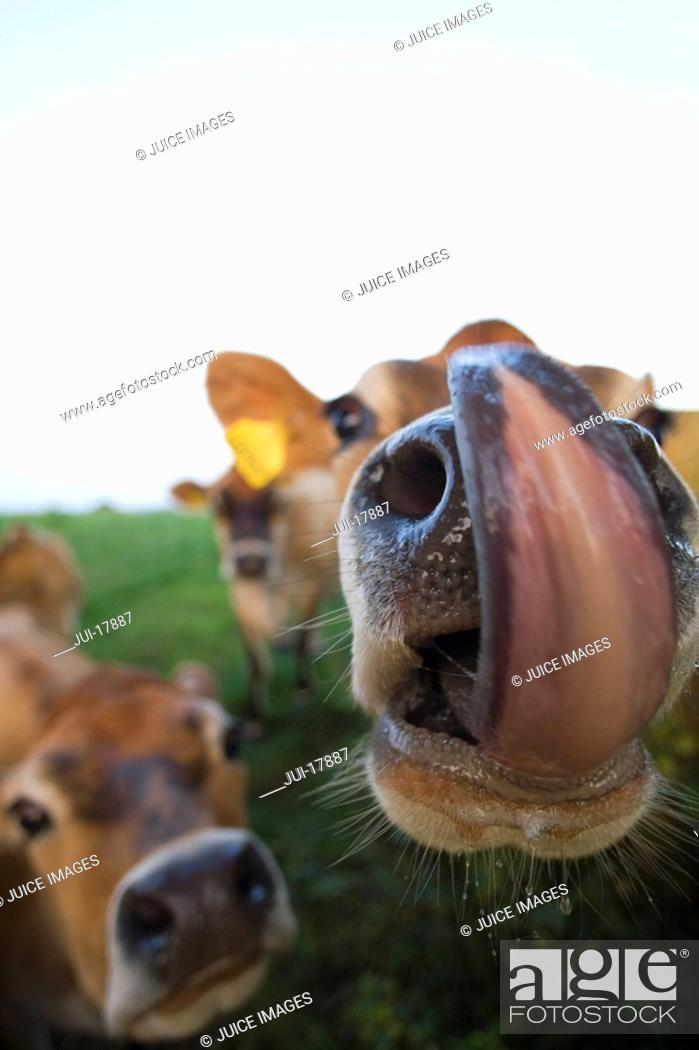 Stock Photo: Close up of jersey cows licking lips.