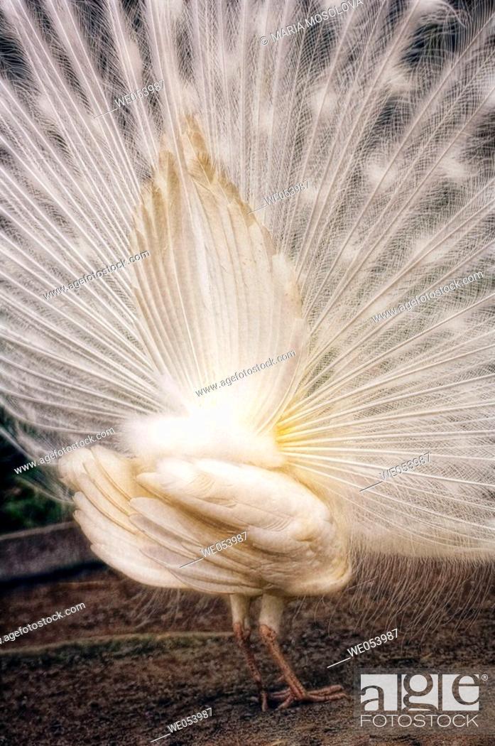 Stock Photo: White Peacock. Pavo cristatus. March 2006. South Carolina, USA.