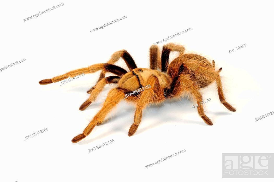 Stock Photo: Mexican blond tarantula, Arizona blond tarantula (Aphonopelma chalcodes), cut-out.
