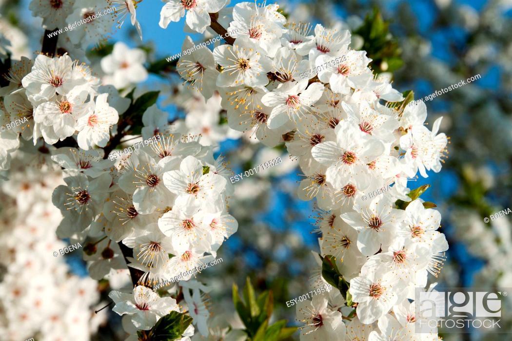 Stock Photo: Cherry blossom.