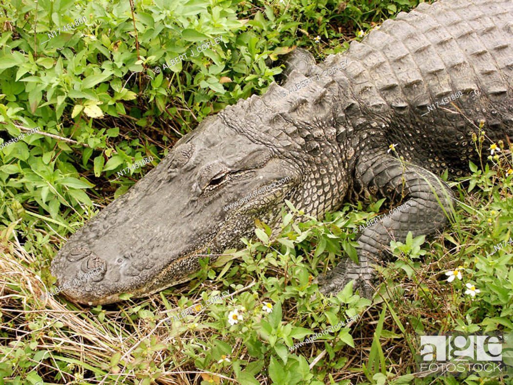 Stock Photo: Florida Everglades, alligator,.