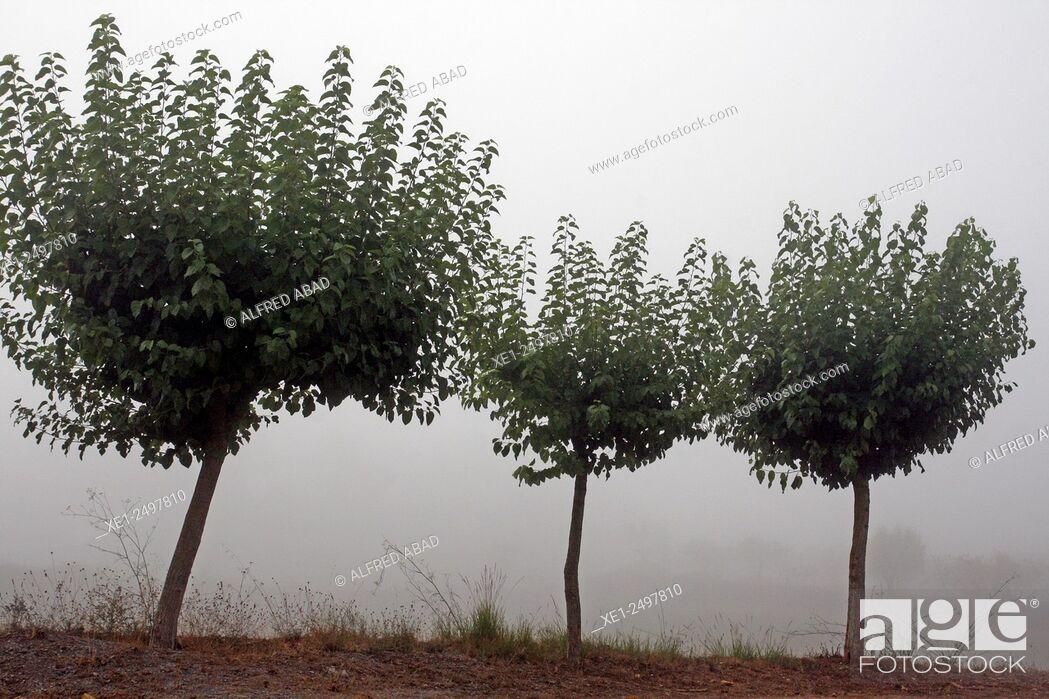 Stock Photo: Trees in fog, Anoia, Catalonia, Spain.