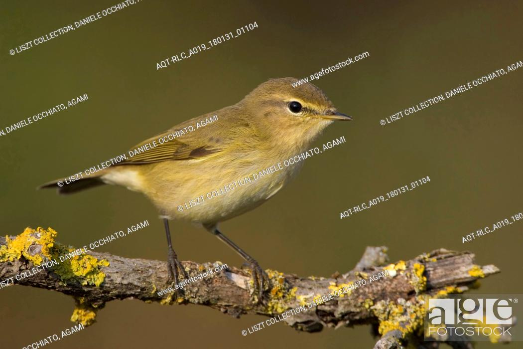 Stock Photo: Common Chiffchaff perched on a branch, Common Chiffchaff, Phylloscopus collybita.