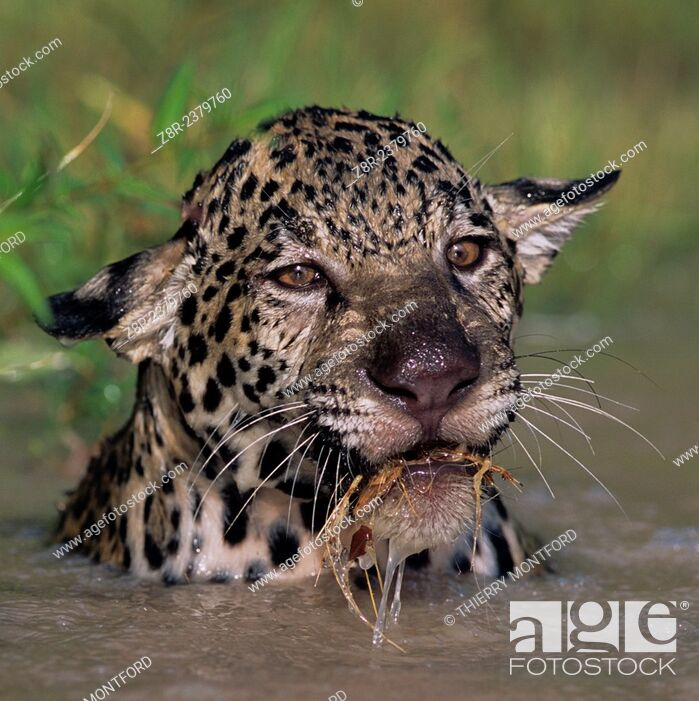 Stock Photo: Panthera onca. Young jaguar playing in the water. French Guiana.