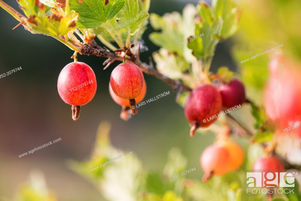 Stock Photo: Gooseberries (Ribes uva-crispa) growing in garden.