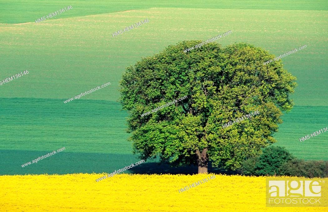 Stock Photo: France, Marne, colza field and tree in the plain.