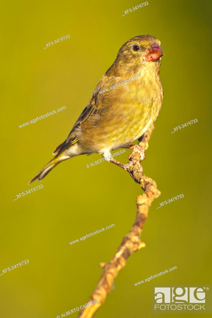 Stock Photo: Female Greenfinch, Carduelis chloris, Verderón Común, Castilla y León, Spain, Europe.