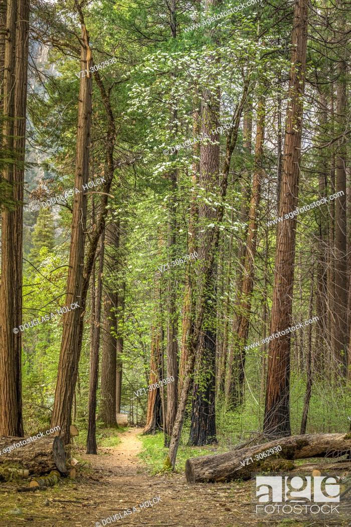 Stock Photo: Yosemite Spring Trail and Dogwoods. Yosemite National Park, California, USA.