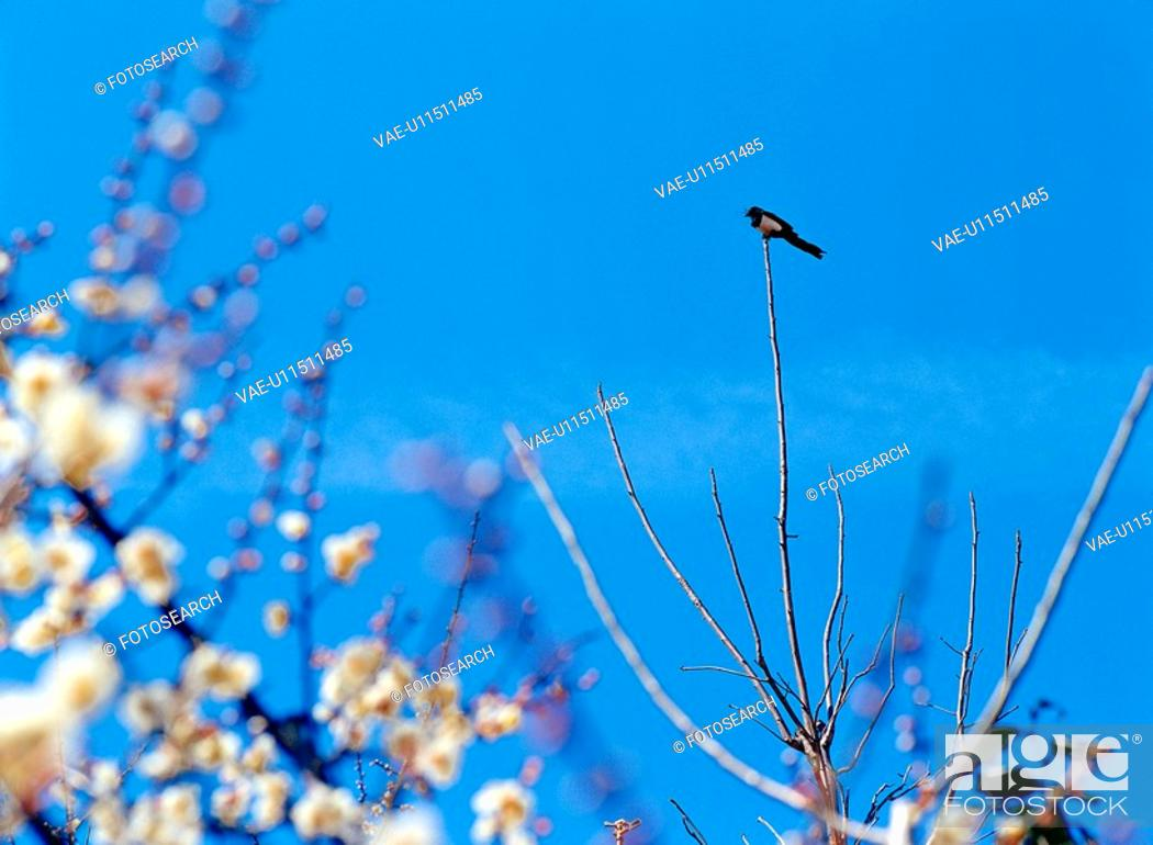 Stock Photo: plant, sky, Koreanmagpie, flower, film.