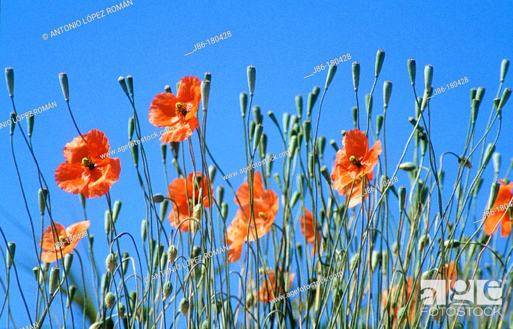 Stock Photo: Poppies (Papaver dubium).