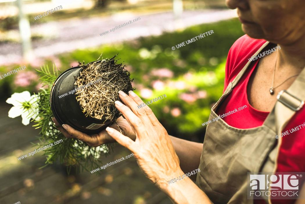 Stock Photo: Woman in nursery examining roots of a flower.