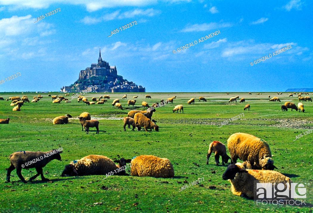 Stock Photo: Sheeps gazing in a 'salted field' with Mont Saint Michel at the background. Normandy, France.