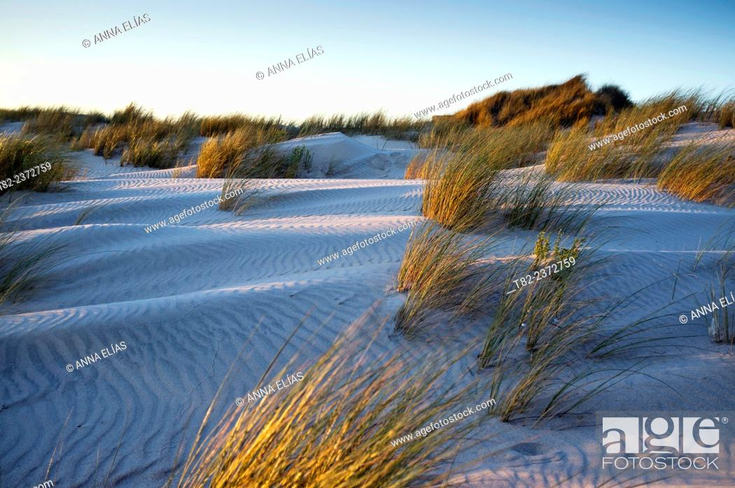 Stock Photo: dunes with Ammophila arenaria plants Barron, Doñana, Huelva, Andalucia, Spain, National Park. Europe.