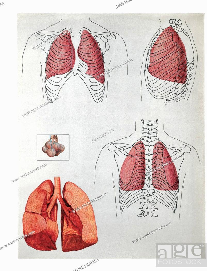 Medicine Human Anatomy Lung Lobes Position Front And Back Stock