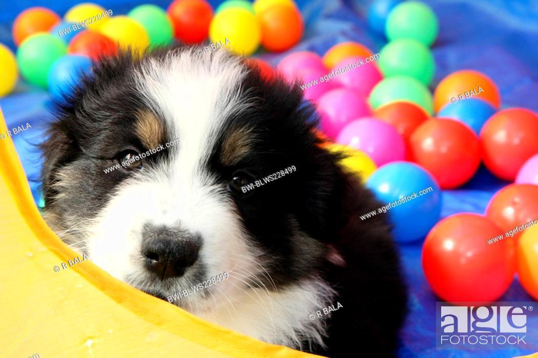 Stock Photo: Australian Shepherd Canis lupus f. familiaris, whelp in front of colourful plastic balls.