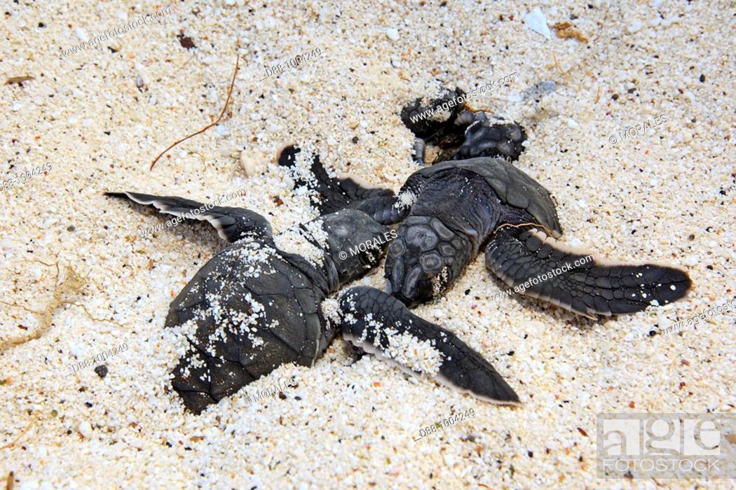 Stock Photo: Green Turtle (Chelonia mydas), Española Island, Galapagos Islands.