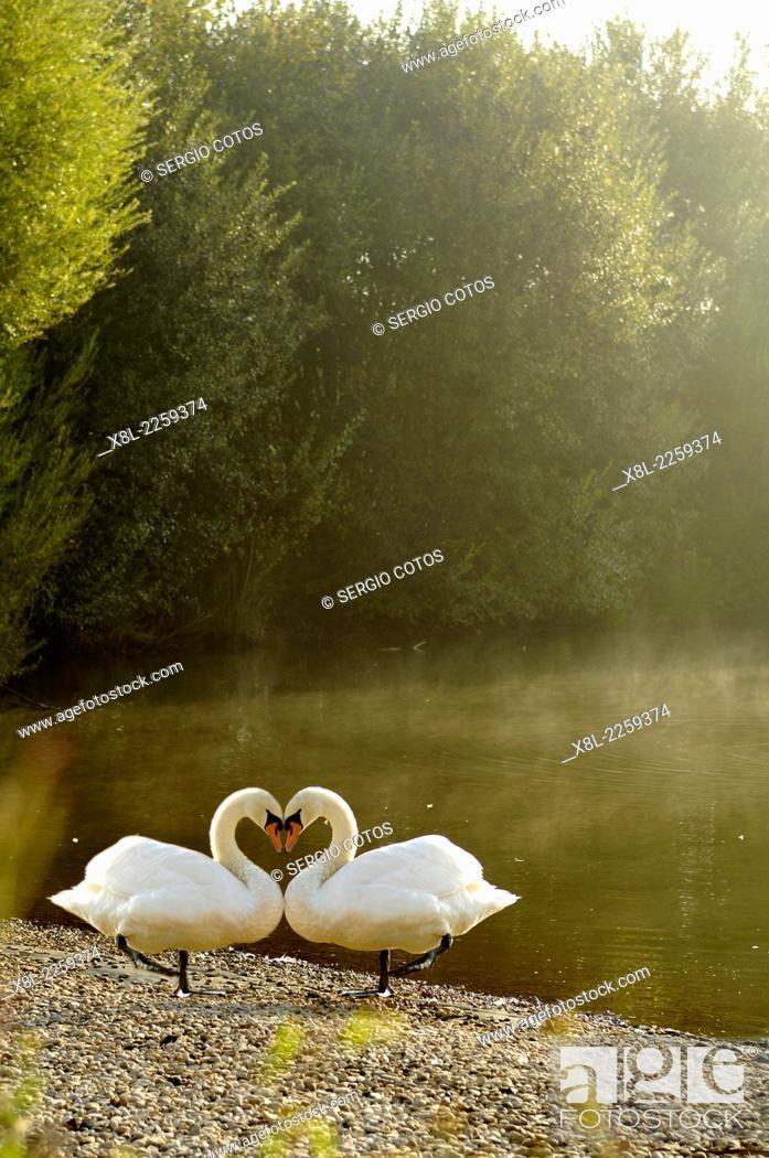 Stock Photo: Swans, manipulated image.