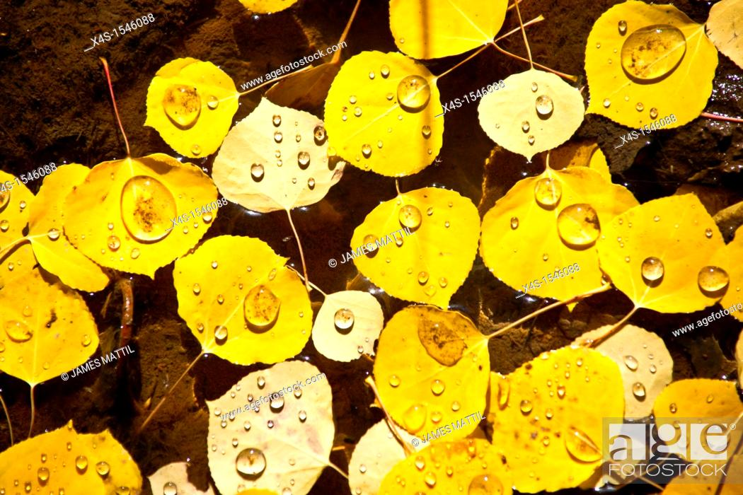 Stock Photo: Tiny droplets of water on aspen leaves in autumn.