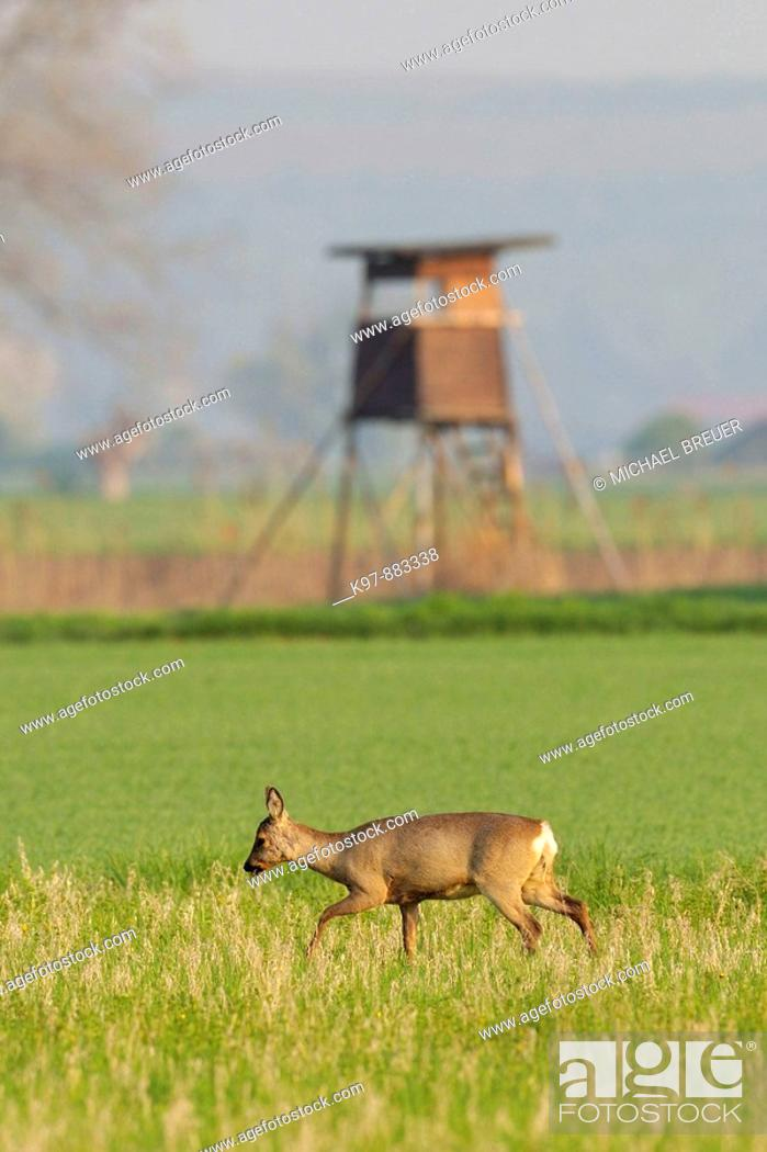 Stock Photo: Roe deer in front of hunting hide (Capreolus capreolus), Germany.