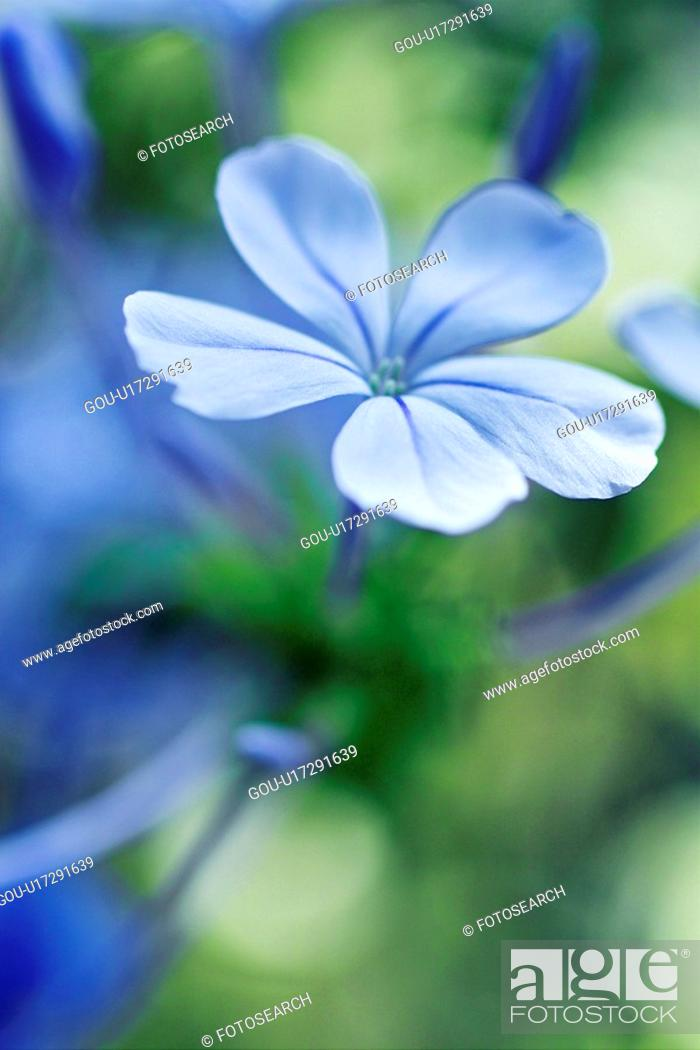 Stock Photo: Plumbago capensis.