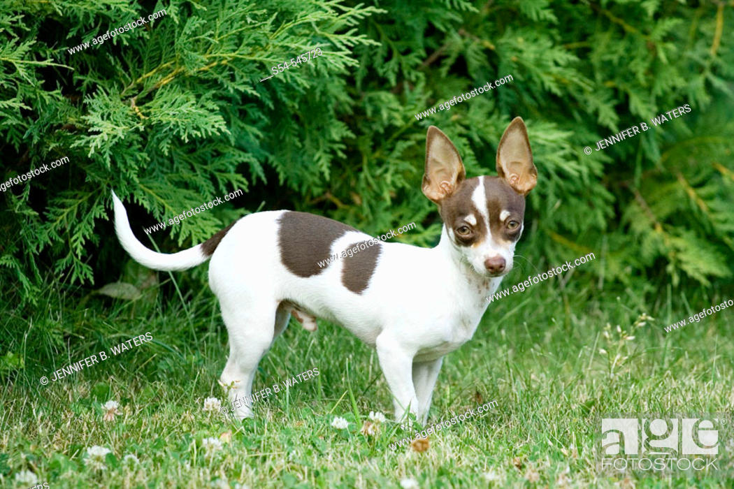 Stock Photo: A six month old male Chihuahua puppy outdoors.  Canis familiaris.