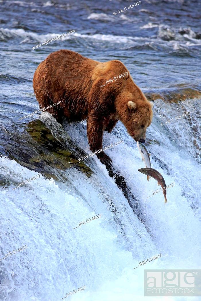 Stock Photo: Grizzly Bear, (Ursus arctos horribilis), adult in water hunting salmon, Brookes River, Katmai Nationalpark, Alaska, USA, North America.