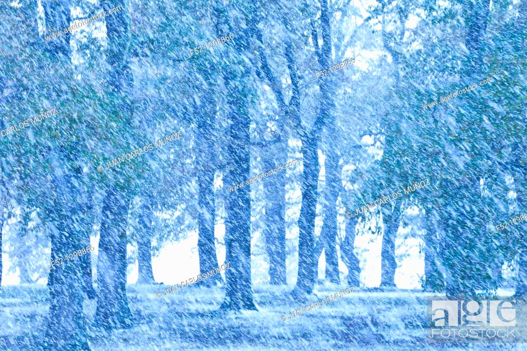 Stock Photo: Forest Oaks in autumn, Gandara Village, Soba Valley, Asón, Cantabria, Spain.