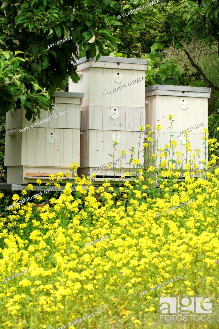 Stock Photo: The blooming yellow flowers of White mustard (Sinapis alba) in front of bee hives. Location: Male Karpaty, Slovakia.