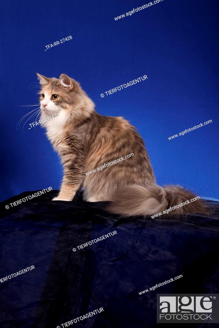 Stock Photo: sitting Siberian Cat.