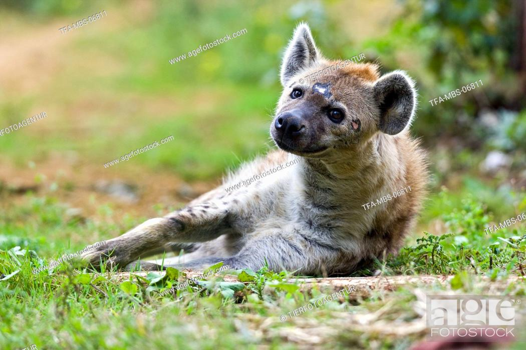 Stock Photo: hyena.