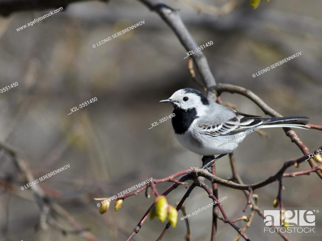 Stock Photo: White wagtail (Motacilla alba) perched on a tree branch. Moscow, Russia.