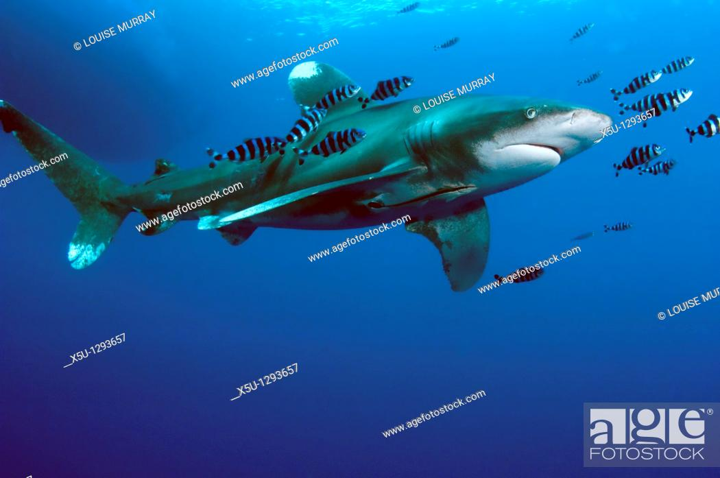 Stock Photo: Oceanic White tip shark at Elphinstone reef in Red Sea, Egypt, accompanied by pilot fish  The pilot fish benefit by eating scraps of the shark's food  THis.