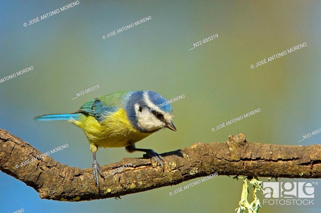 Stock Photo: Blue Tit (Parus caeruleus). Andujar, Jaen province, Andalusia, Spain.