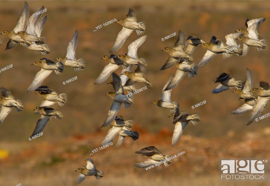 Stock Photo: Flock of Golden plovers flying  Athens, Greece.