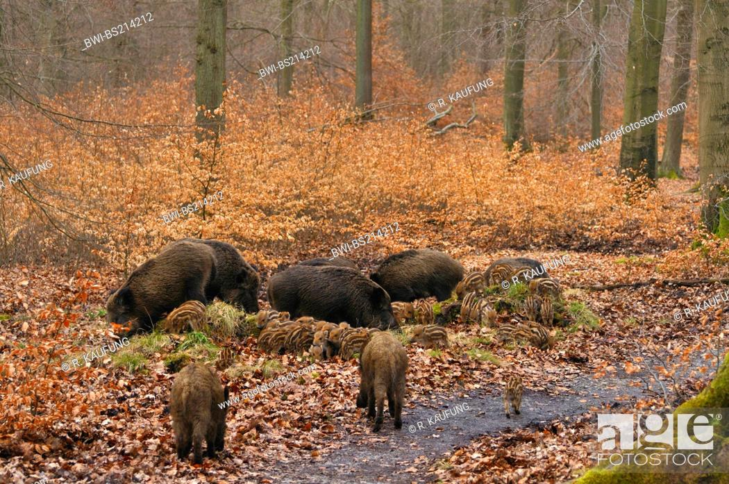 wild boar, pig, wild boar (Sus scrofa), Pigs searching for