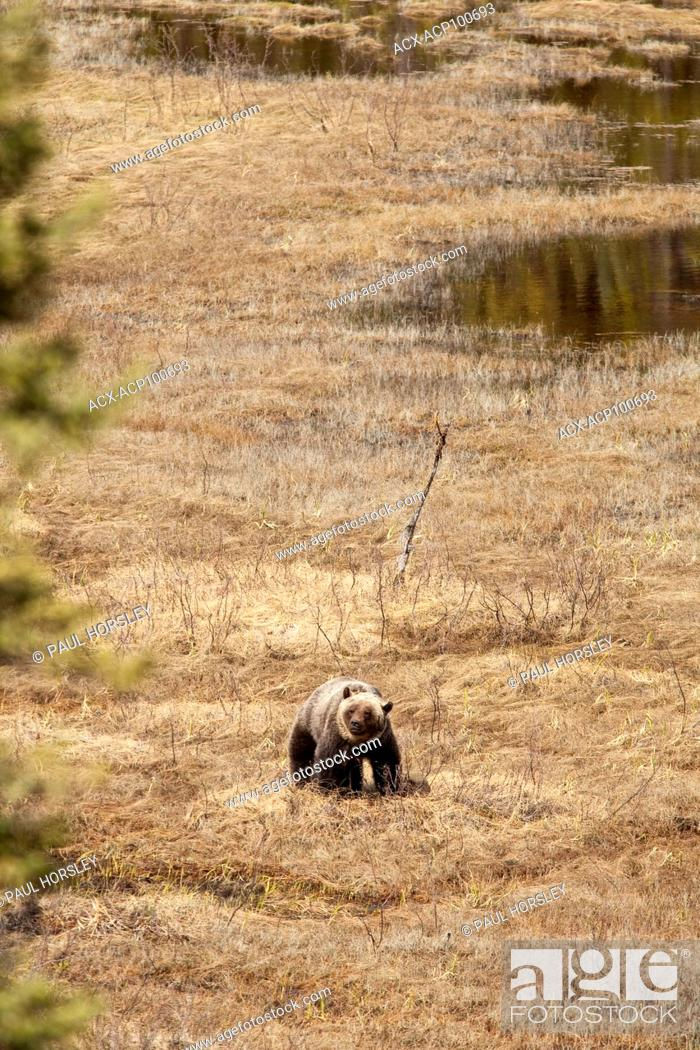 Stock Photo: Grizzley Bear standing in a clearing in Jasper National Park, Alberta, Canada.