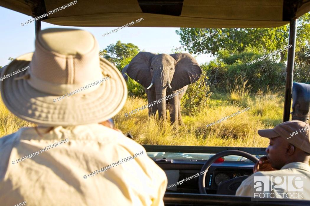 Imagen: A tourist watching an african elephant right in front of the car in Botswana, Africa.