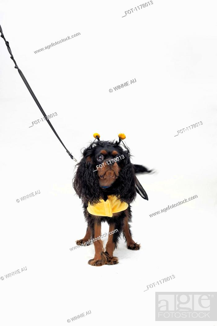 Stock Photo: A Cavalier King Charles Spaniel wearing a bee costume.