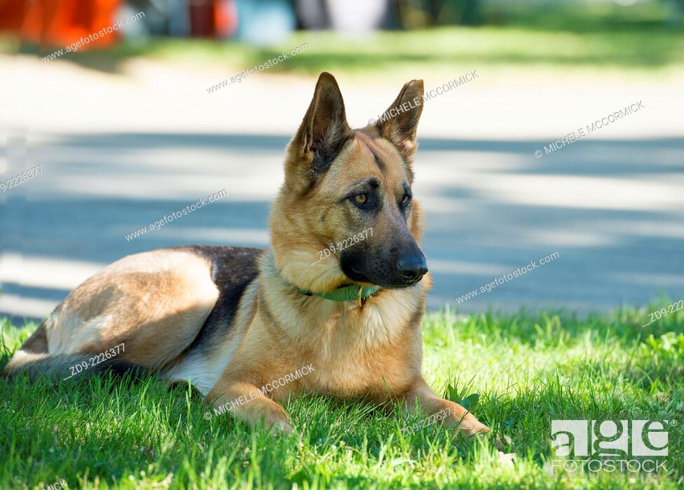 Stock Photo: A German Shepherd Dog patiently awaits its owners return.
