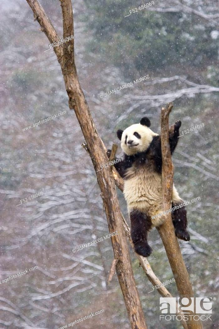 Stock Photo: Giant Panda (Ailuropoda melanoleuca). China.