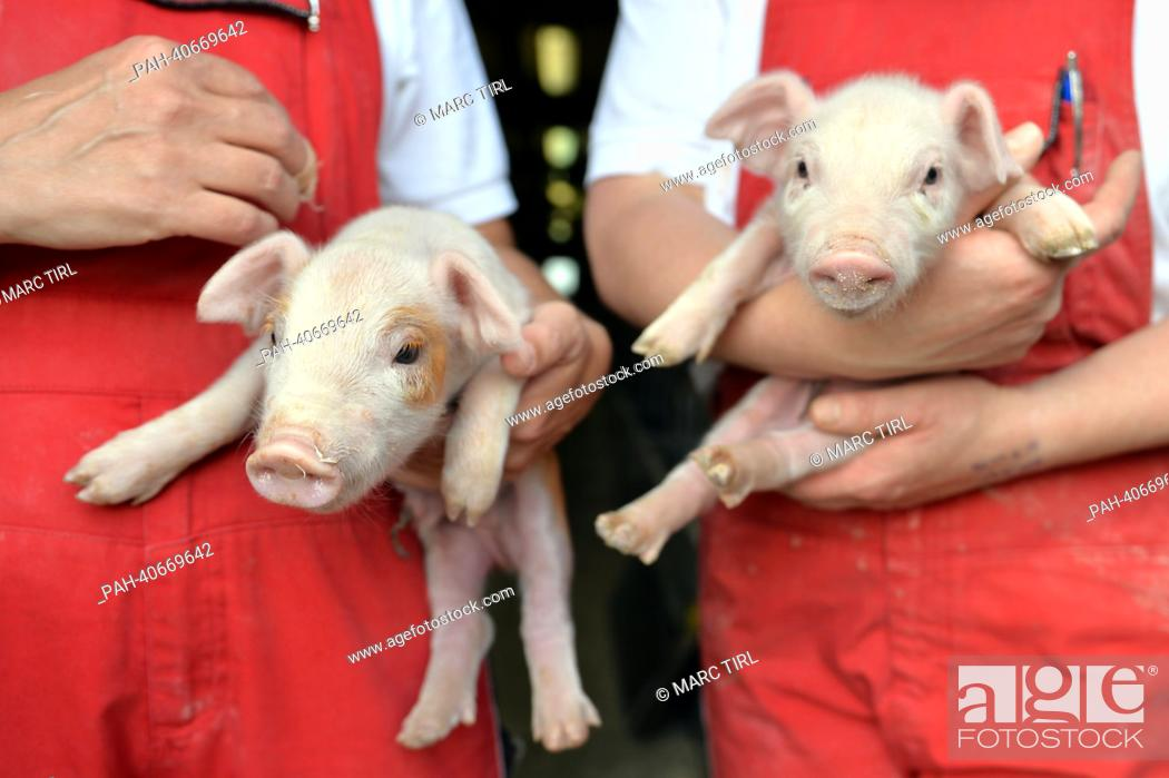 Stock Photo: Employees of the pig fattening plant Agrar e.G. hold two boar piglets in their hands in Hebersdorf, Germany, 17 June 2013.