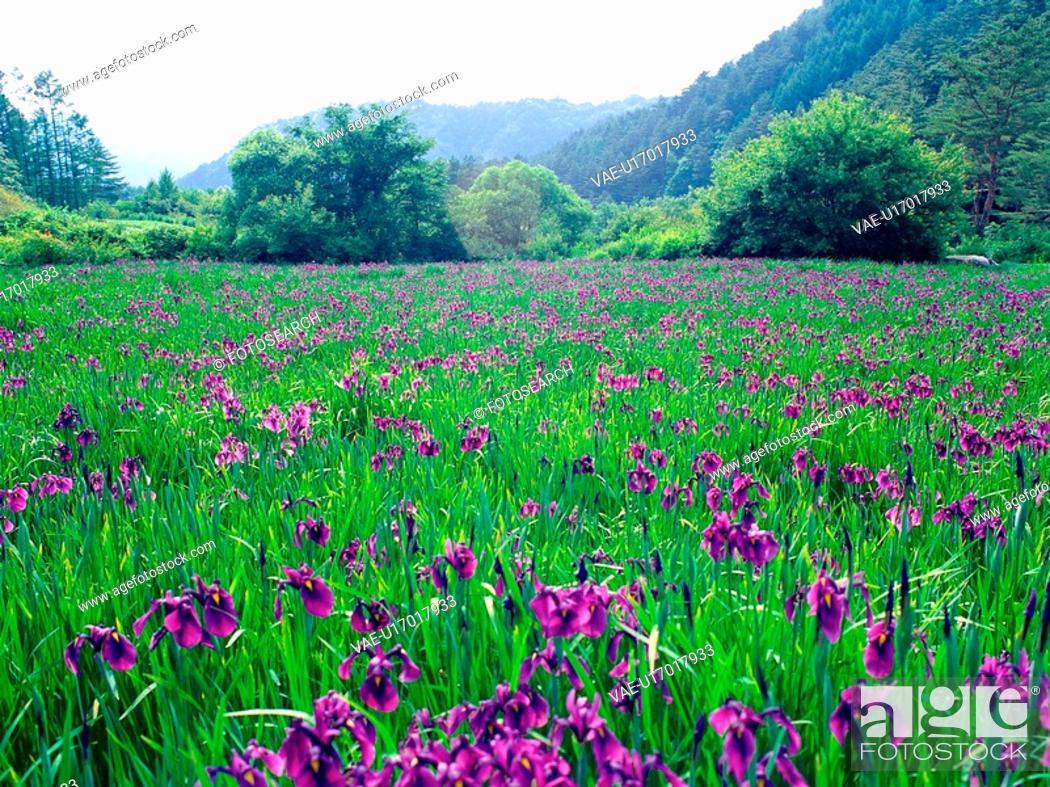 Stock Photo: plants, nature, blueflag, flower, plant, film.